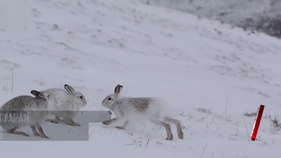 Tavşanların liderlik için boks mücadelesi