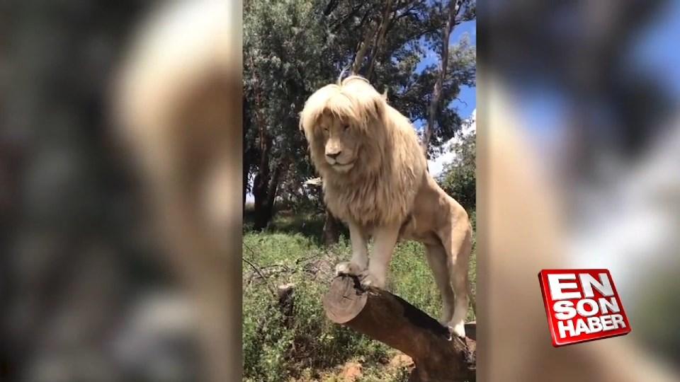 Aslan tüm güzelliğini sergiliyor