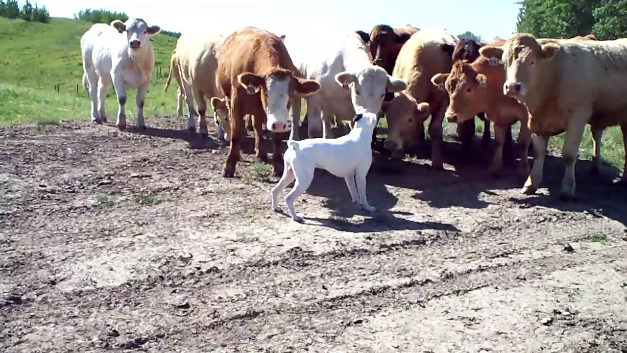 İlk kez köpek gören ineklerin tepkisi