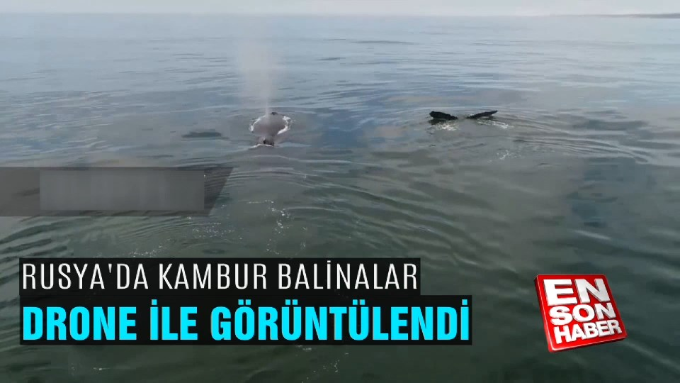 Kambur balinalar drone ile görüntülendi