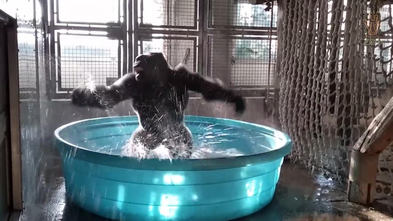Gorilin çılgın havuz partisi