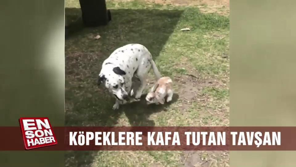 Köpeklere kafa tutan tavşan