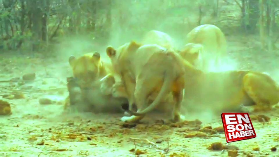 Masai Mara'da aslan ailesi domuz avında