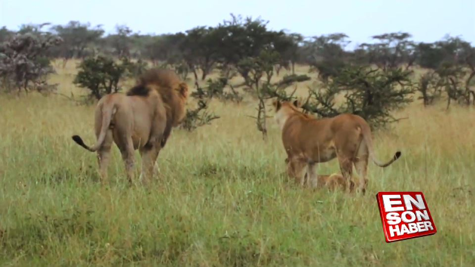Anne Aslan yavruları için siper oldu