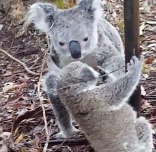 Koalanın annelik iç güdüsü