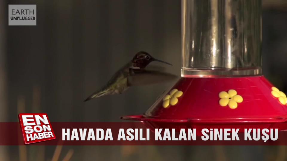 Havada asılı kalan sinek kuşu