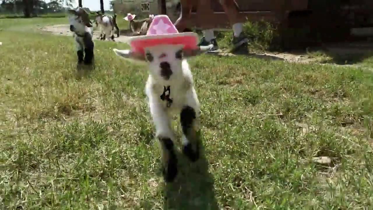 Sevimli kovboy keçiler