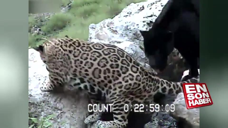 Ayağı kayıp uçurumdan düşen leopar