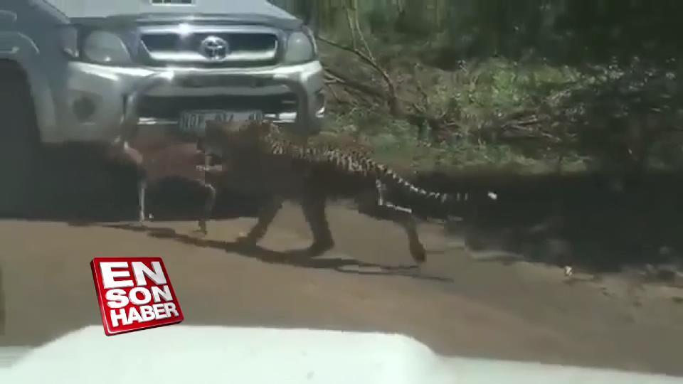 Çitalara yem olan yavru impala