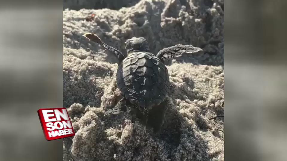 Kum tepesine takılan deniz kaplumbağasını kurtaran adam