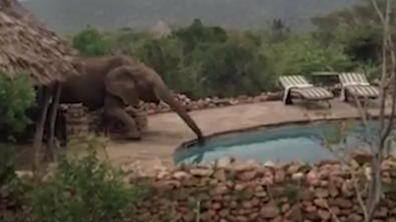 Evin havuzundan su içen fil