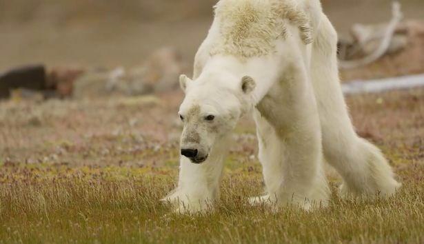 Açlıktan ölmek üzere olan kutup ayısının son anları