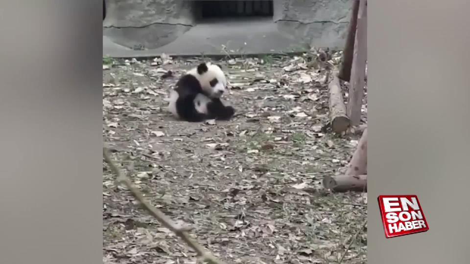 Oyuncağı alınan panda kendini yerlere atıyor