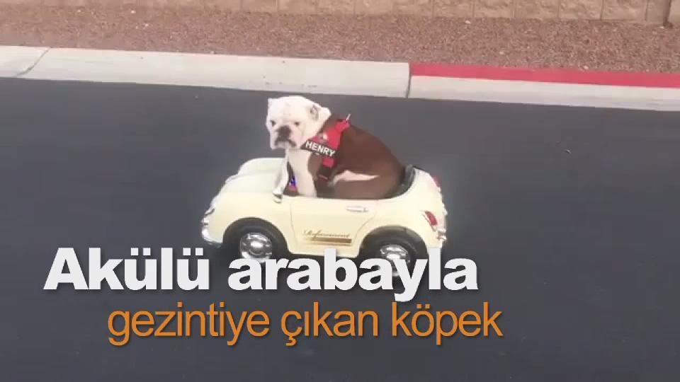 Akülü arabayla gezintiye çıkan köpek