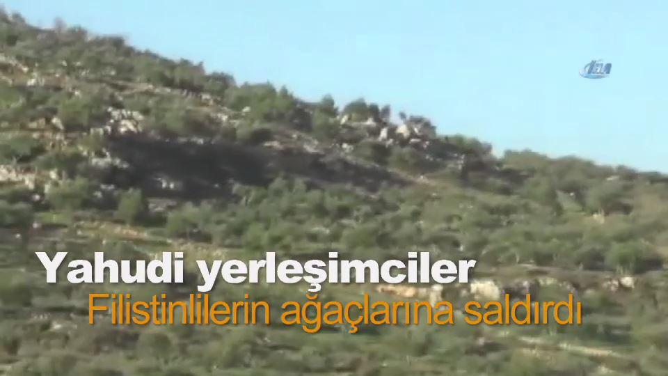 Yahudi yerleşimciler Filistinlilerin ağaçlarına saldırdı