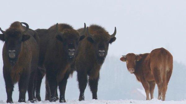 Çiftlikten kaçan inek bizon sürüsüne katıldı