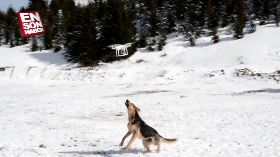 Ordu'da drone'a saldıran köpek