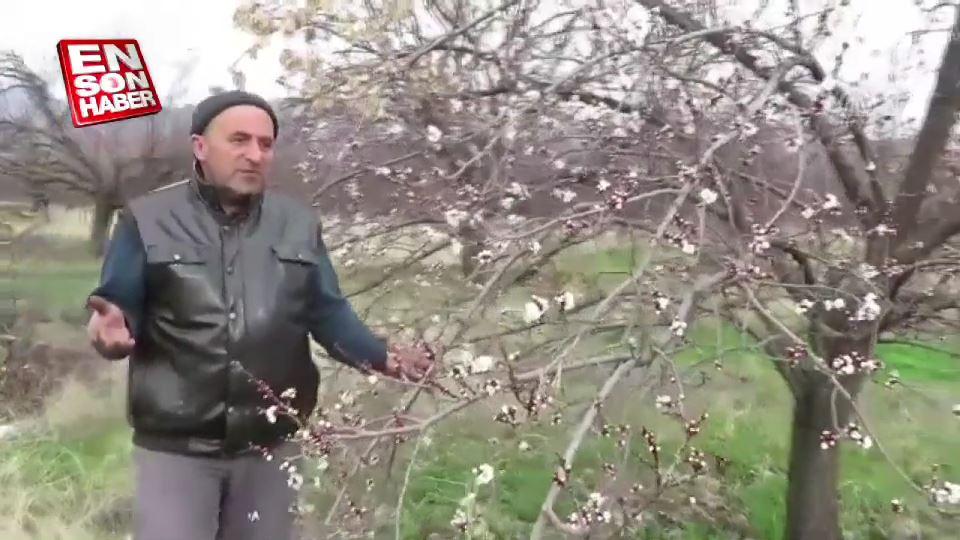 Kayısı ağaçları erken çiçek açtı
