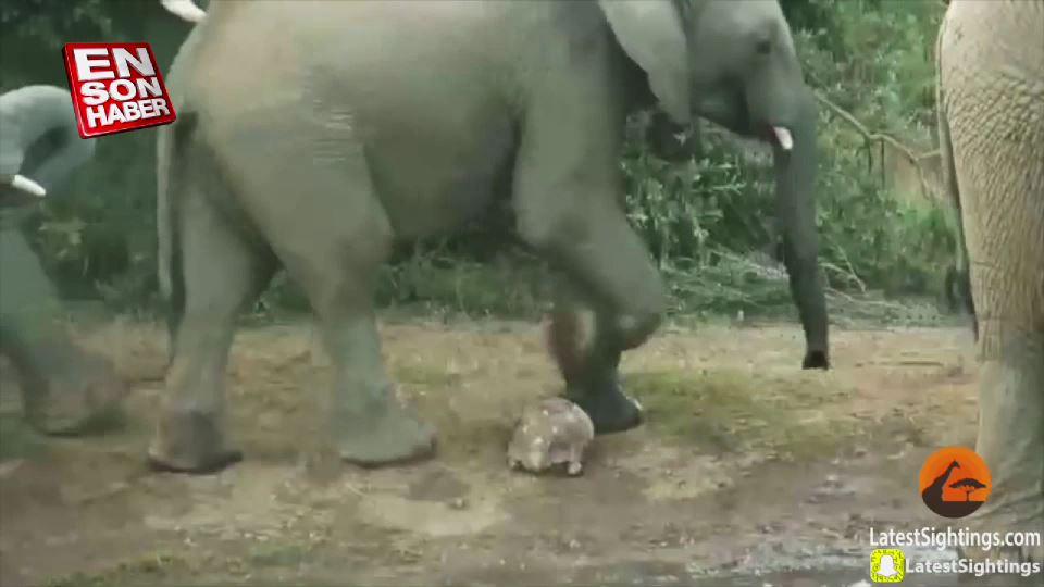 Fillerin arasında kalan kaplumbağa