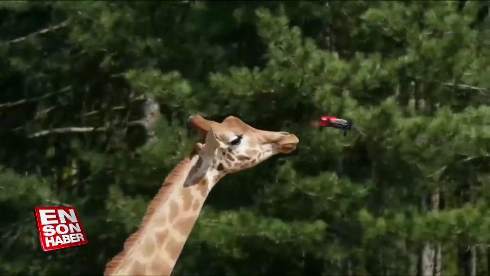 Hayvanların drone'a verdiği tepkiler