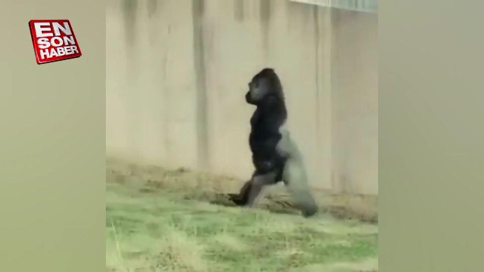 Spordan yeni çıkmış gibi yürüyen goril