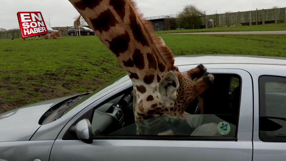 Zürafanın kafasını cama sıkıştıran kadın