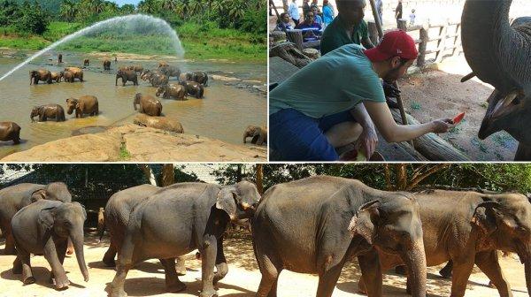 Sri Lanka'da fil yetimhanesi