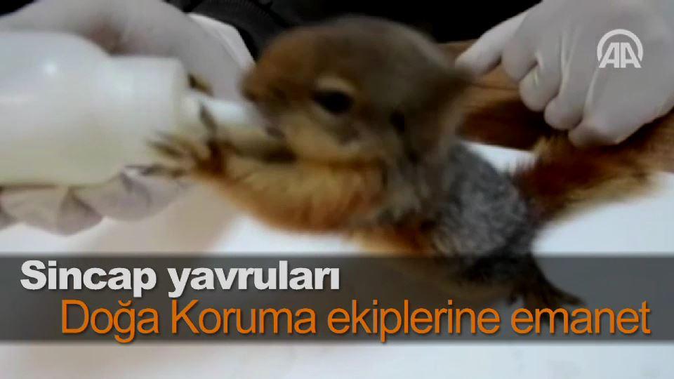 Sincap yavruları Doğa Koruma ekiplerine emanet