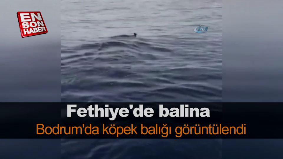 Fethiye'de balina, Bodrum'da köpek balığı görüntülendi