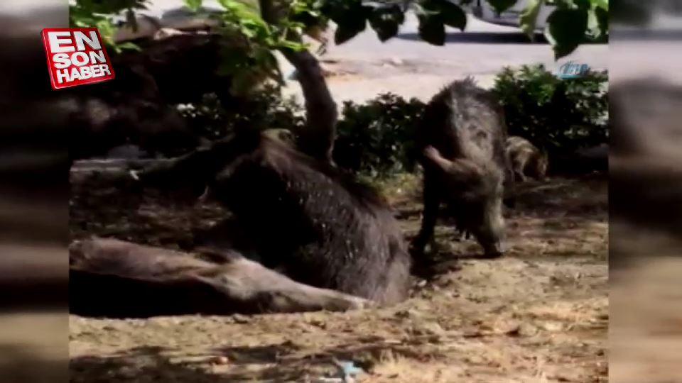Domuz sürüleri lüks site bahçelerinde yaşamaya başladı