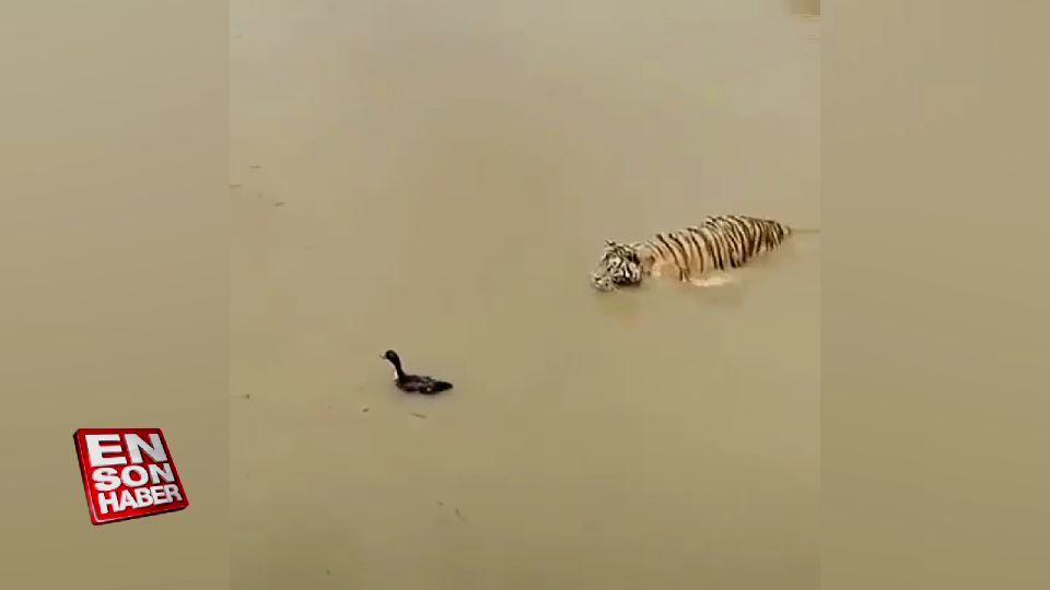 Kaplanı tuzağa düşüren ördek