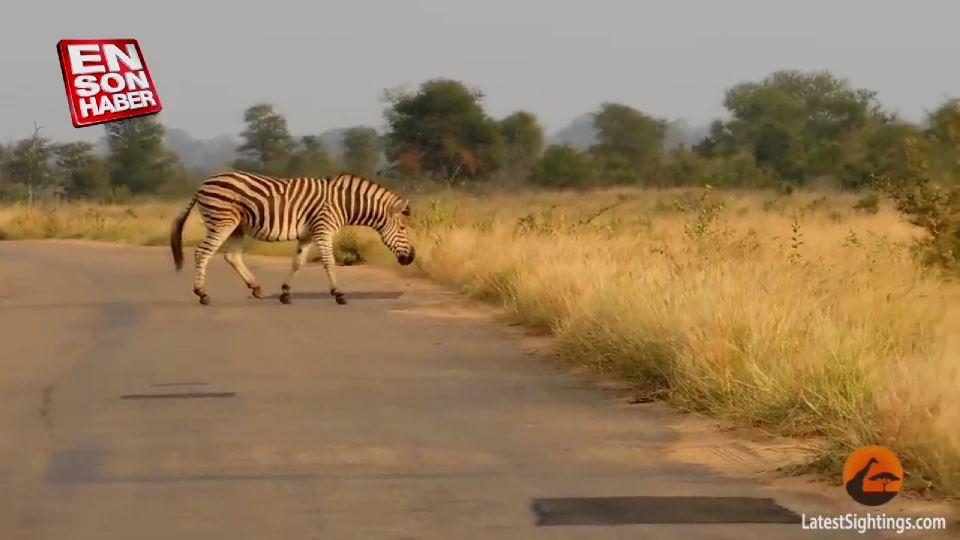 Aslanların kurduğu pusudan kurtulan zebra