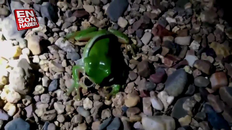 Kurbağanın yavru yılanı yeme mücadelesi